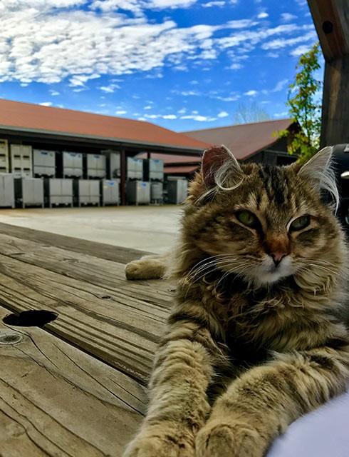 Goldeneye Kitten