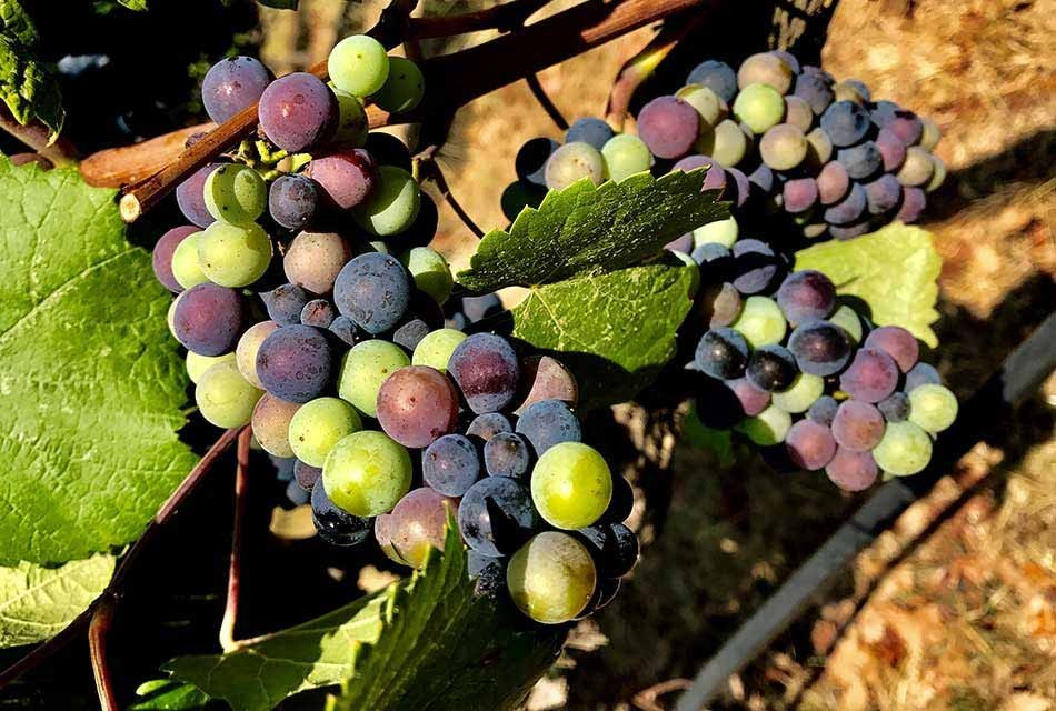 Veraison in Gowan Creek Vineyard